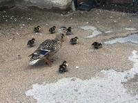 the keble ducks